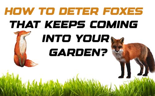 How to Deter Foxes