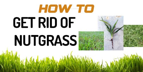 Get Rid of Nutgrass