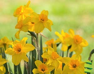 Daffodils (Narcissus spp. and hybrids)