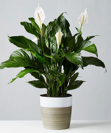 Peace Lilacy - A plant that grows without sunlight